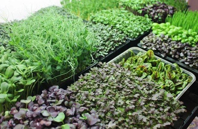 Микрозелень для ресторанов
